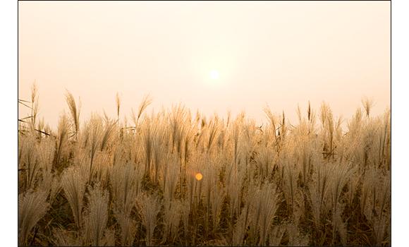 우리나라 4대 갈대밭 중 하나 신성리 갈대밭