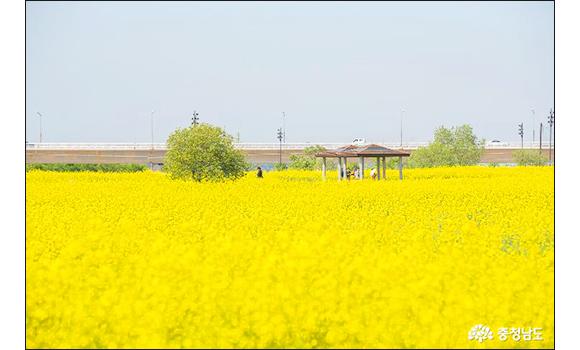 부여 황산대교 - 유채꽃