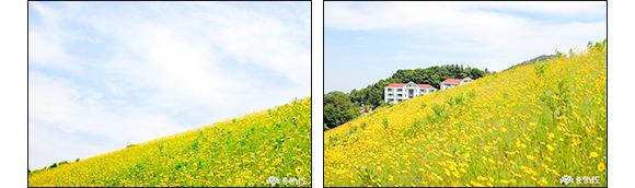 천안 천흥저수지 - 금계국